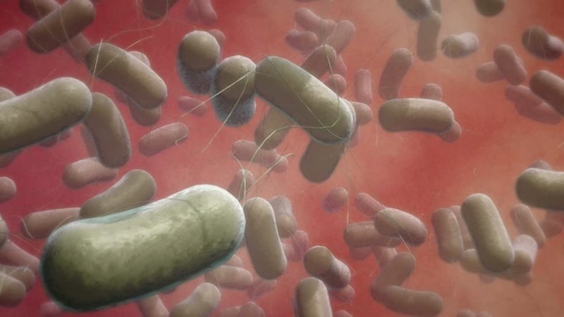 Bacillus cereus ynews, мясо, супербактерии, устойчивость к антибиотикам, фермы, эпидемии