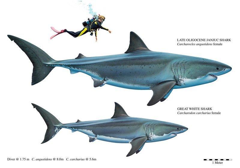 Сравнение большой зубчатой узкозубой акулы и современной белой акулы акула, акулы, доисторические животные, морские обитатели, наука, находки, палеонтология, ученые