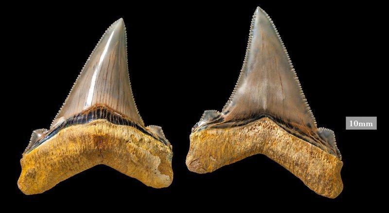 Образцы зубов большой зубчатой узкозубой акулы акула, акулы, доисторические животные, морские обитатели, наука, находки, палеонтология, ученые