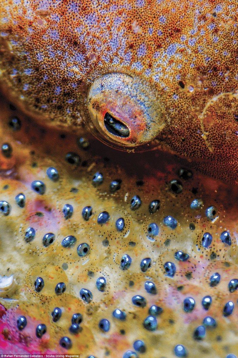 """Икра рыбы-присоски, Ла Эррадура, Испания. Фотограф - Рафаэль Фернандес, 3 место в категории """"макро"""" Лучшие подводные фотографии года, красота, победители конкурса, подводная фотография, подводное фото, подводный мир, фотоконкурс, фотоконкурсы. природа"""