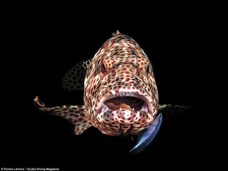 """Групер, Марса Шагра, Египет. Фотограф - Ференц Лоринц, 3 место в категории """"компакт-камера"""" Лучшие подводные фотографии года, красота, победители конкурса, подводная фотография, подводное фото, подводный мир, фотоконкурс, фотоконкурсы. природа"""