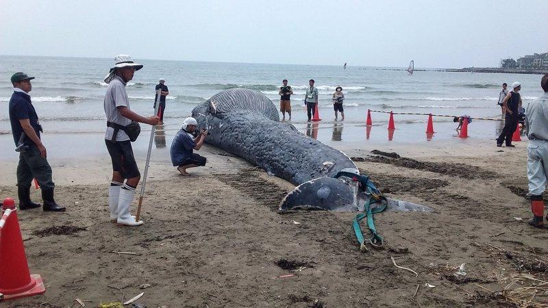 Они находятся под угрозой исчезновения - всего в дикой природе осталось порядка 10 000 - 25 000 особей. грустно, животные, кит, киты, море, морские обитатели, новости, япония