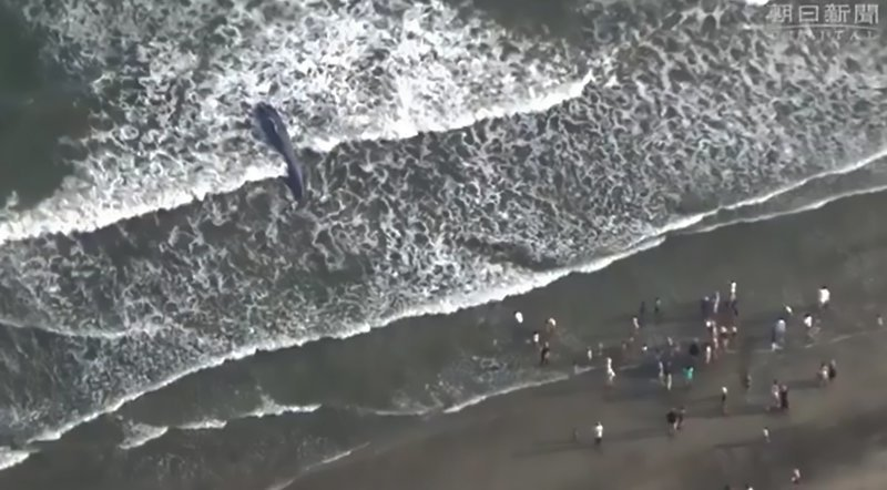 Кита выбросило на общественный пляж Юигахама в Камакуре, в 70 км к югу от Токио. Зрелище изрядно шокировало посетителей пляжа. грустно, животные, кит, киты, море, морские обитатели, новости, япония