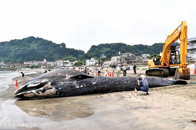Синие киты - самое большое животное в мире. Их длина может достигать 30 метров, а вес - 170 тонн. грустно, животные, кит, киты, море, морские обитатели, новости, япония