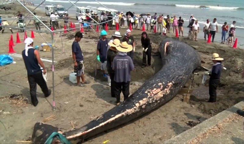 Тело молодого 10-метрового кита выбросило на берег в Японии грустно, животные, кит, киты, море, морские обитатели, новости, япония
