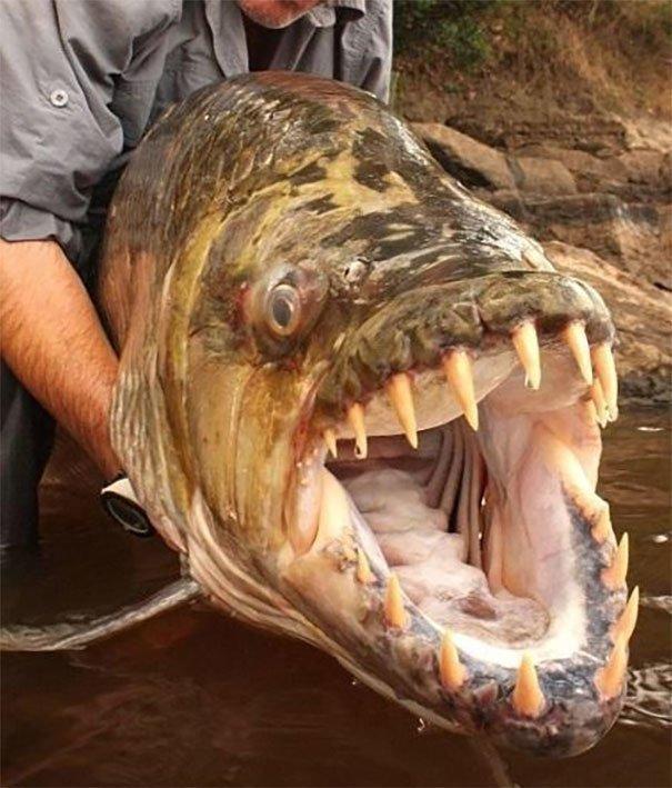 57. Большая тигровая рыба из реки Конго животные, мир, подборка, природа, ужас, фото, явление