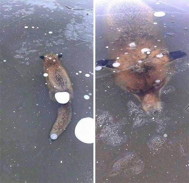 40. Утонувшая лиса животные, мир, подборка, природа, ужас, фото, явление