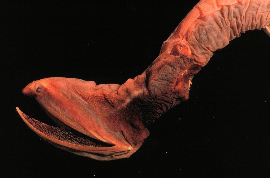 Мешкорот рыба фото