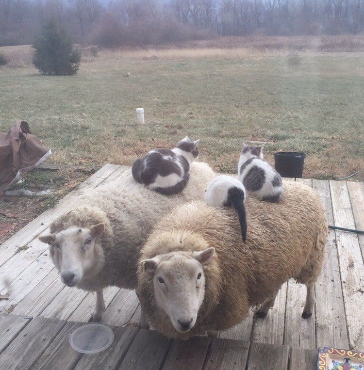 25. «Мои кошки спят на овцах» в мире, животные, забавно, милота, прикол, юмор