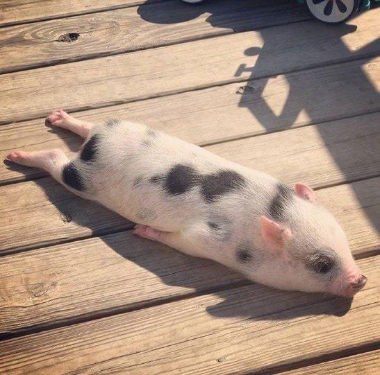 20. «Свинья моего коллеги принимает солнечные ванны» в мире, животные, забавно, милота, прикол, юмор
