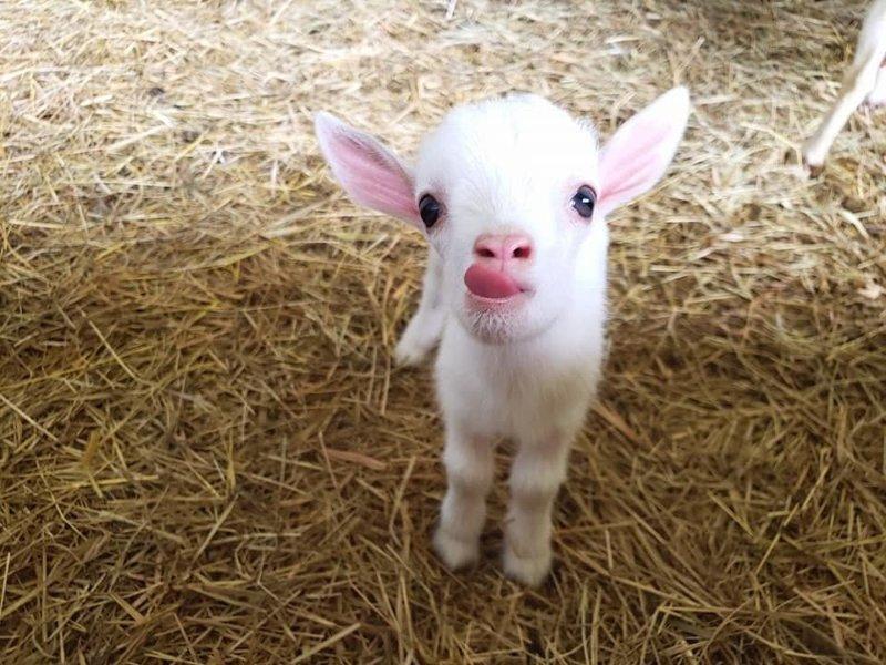 24. «Маленькая козочка» в мире, животные, забавно, милота, прикол, юмор