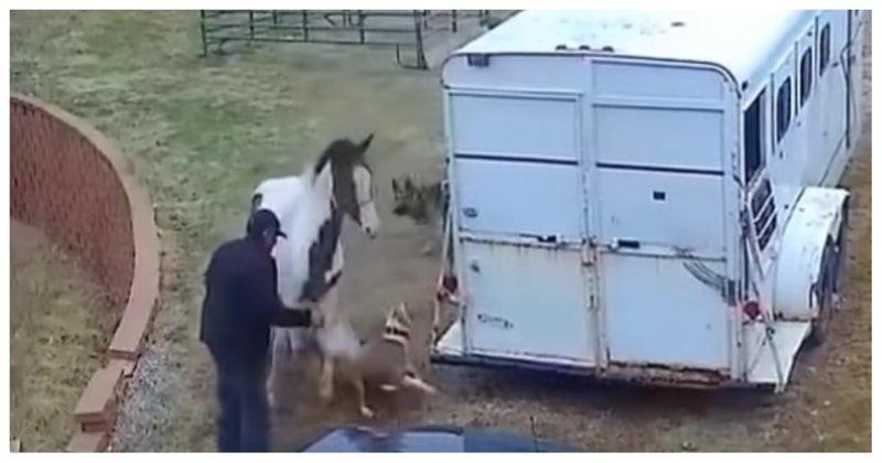 Питбуль напал на лошадь и очень скоро пожалел об этом fb829af18e9