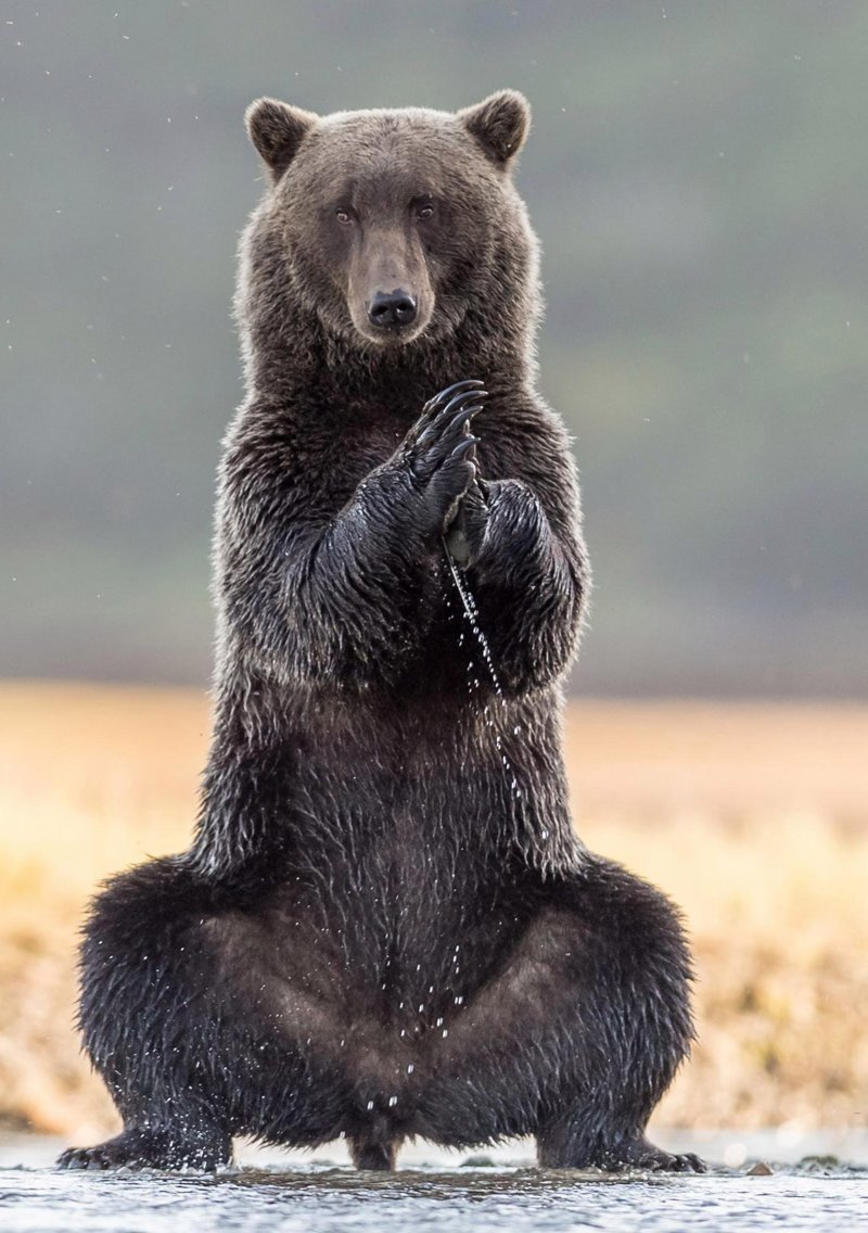 На Аляске медведь позанимался йогой аляска, в мире, животные, йога, медведь, прикол, сша