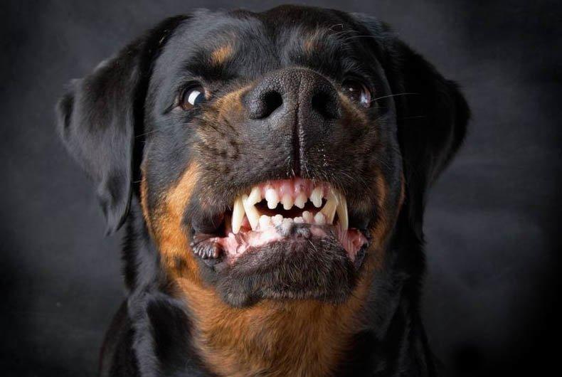 Картинки по запросу оскал собаки