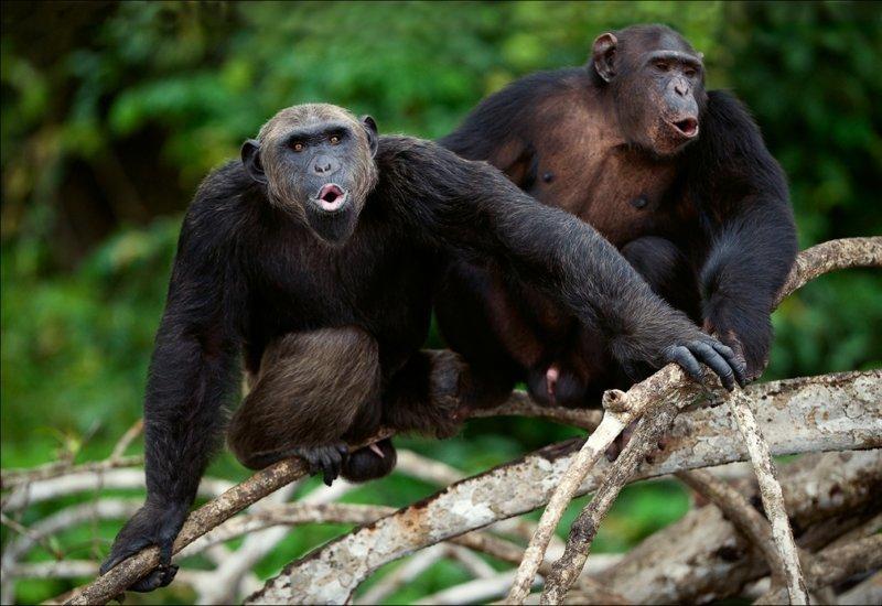 Шимпанзе гомосексуалисты