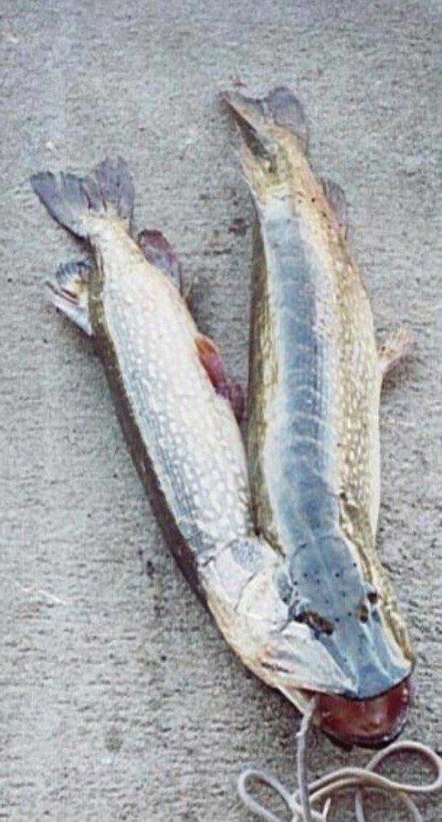 графические двухголовые рыбы в москве реке фото две