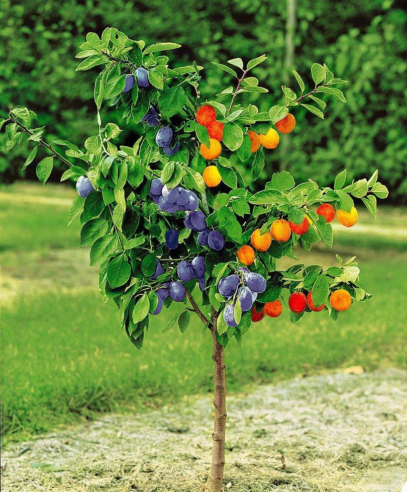 индивидуальных картинка плоды и цветы на одном дереве только