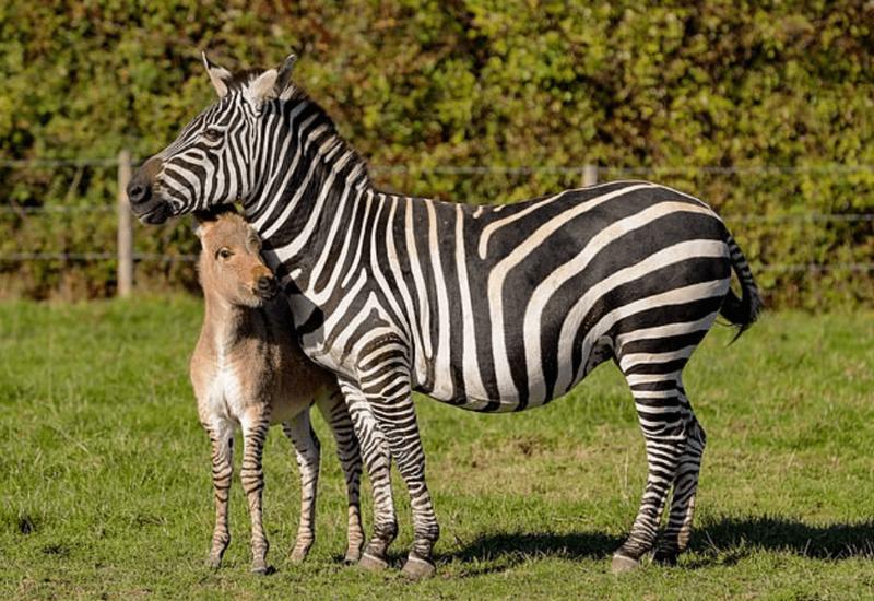 Однажды утром Кристина Тернер выглянула в окно и обнаружила, что на неё смотрит жеребёнок, которого раньше на её ферме не было жеребёнок, животные, зебра, окрас, осел, плод любви