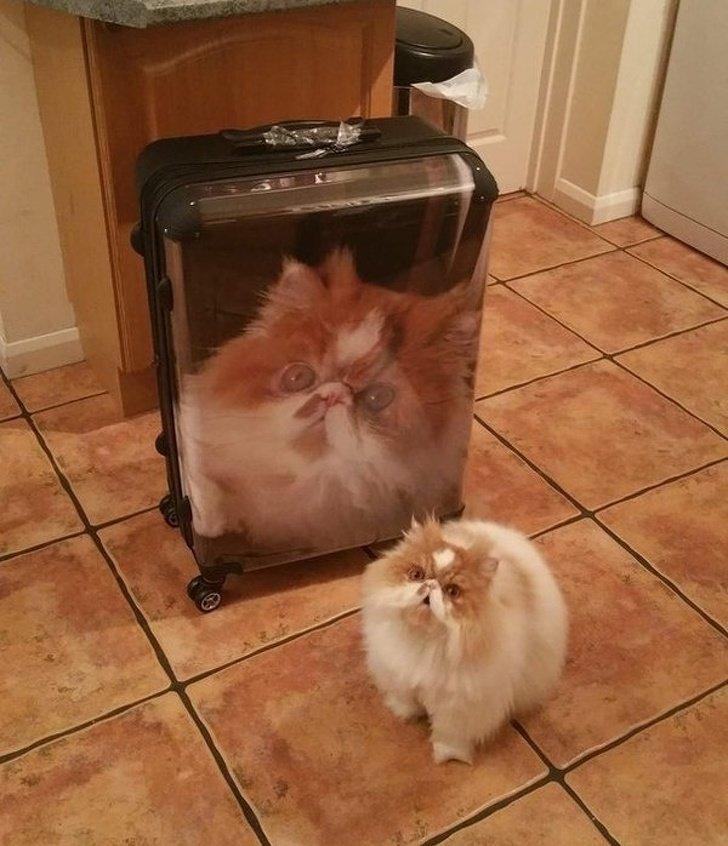 Похоже, этому коту сообщили, что в отпуск едет не он, а только его фотография на чемодане животные, картинки, коты
