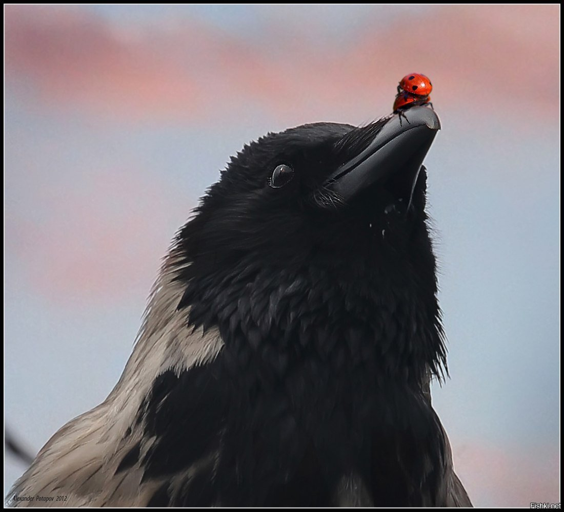 Наступившим, картинка смешной вороны