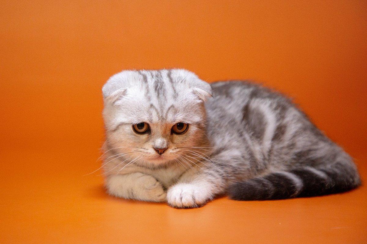 разыскивают фото кошек шотландцев вислоухих хозяйка