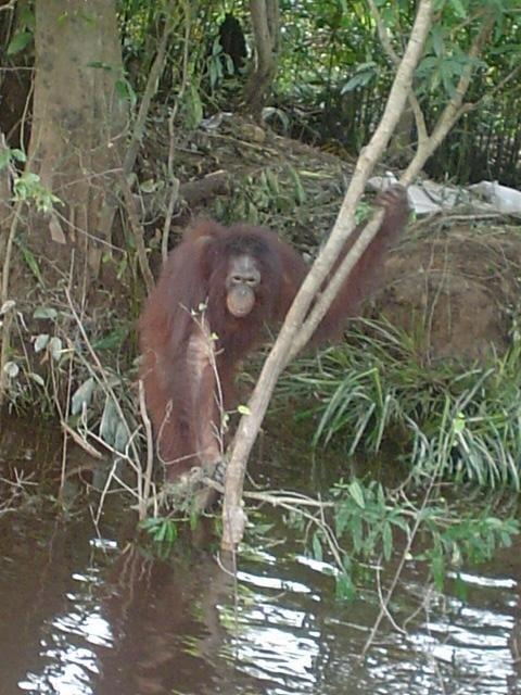 Секс с орангутанами