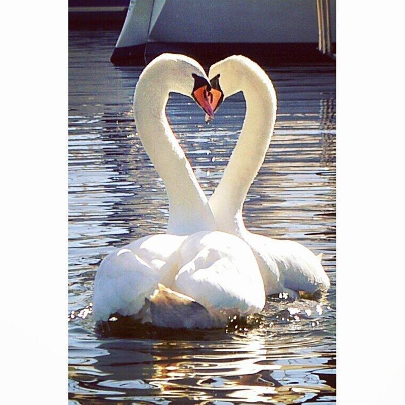 2. Лебединое сердце в нужный момент, в тот самый момент, фото, юмор