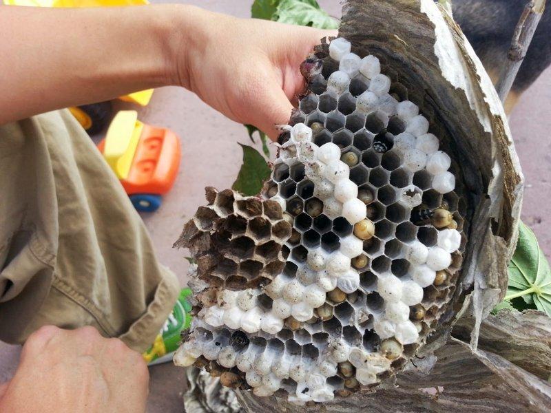 7. Гнездо осы в разрезе, вещи в разрезе, интересно, пополам, фото