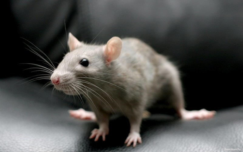 Крыса относится к отряду