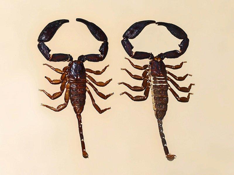 Яд скорпиона - 685 млн. рублей/литр богатство, деньги, доллар, миллионер, рубль, ширпотреб
