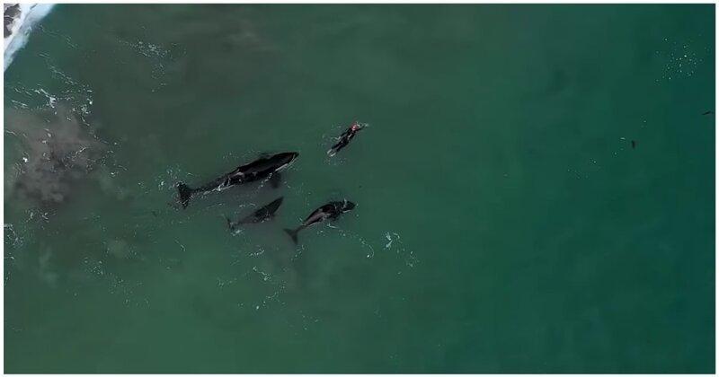 Незабываемый опыт: любопытные косатки поплавали рядом с купающейся женщиной видео, животные, интересное, косатка, косатки, новая зеландия