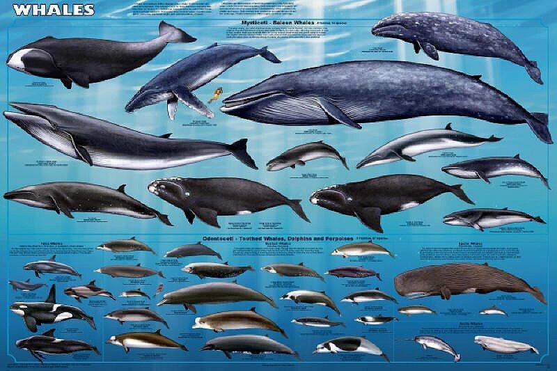 переборка все виды китов фото и названия зависимости габаритов