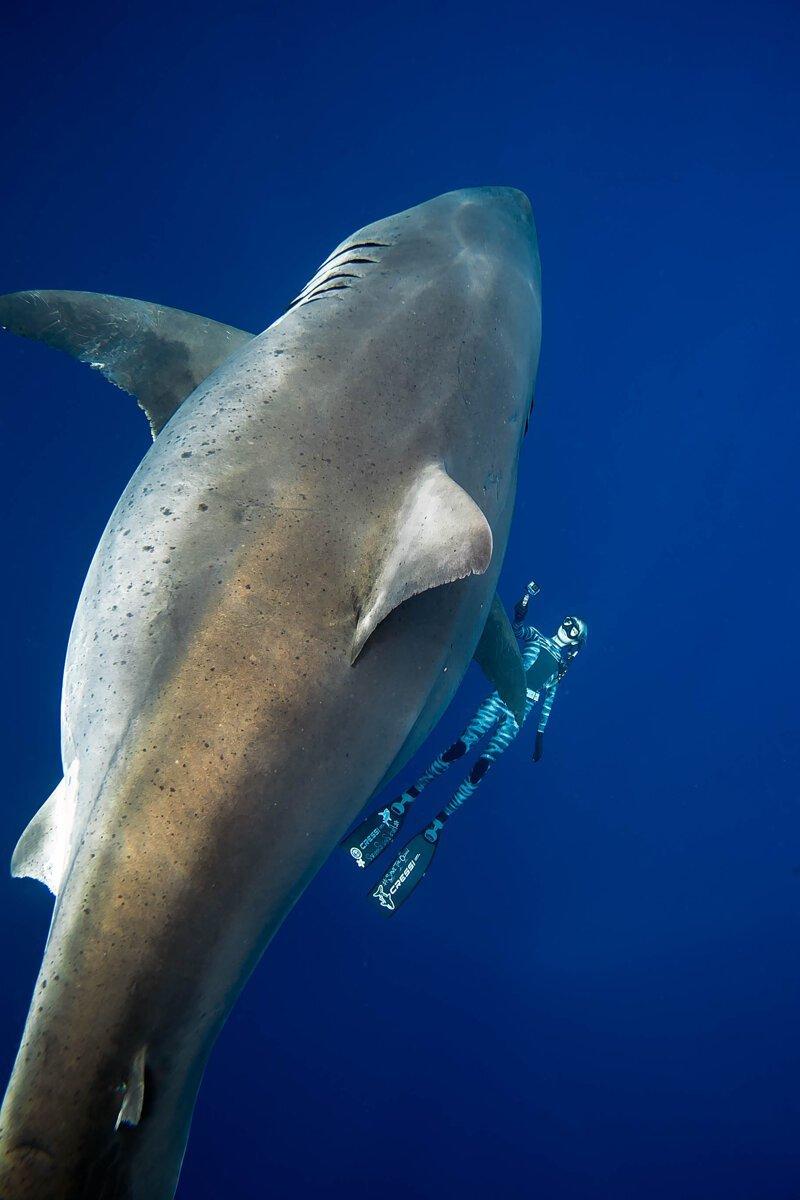 Дип Блю - самая огромная белая акула в мире. Уникальные фото гиганта