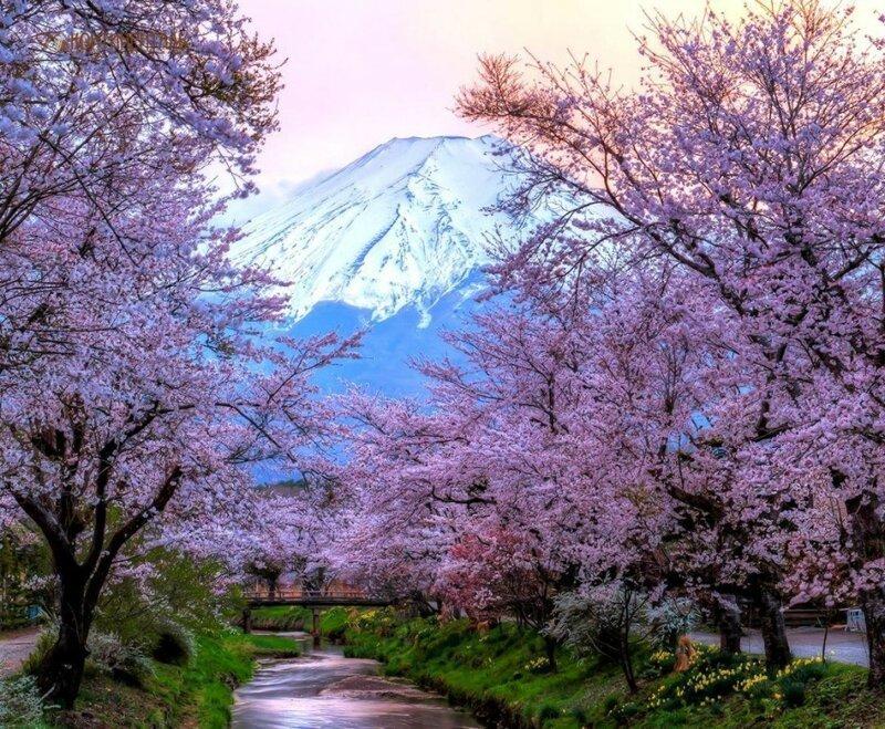 В Японии названы даты цветения сакуры