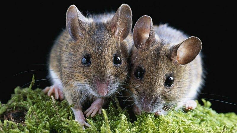 Ученые: Убаюкивание улучшило качество сна мышей