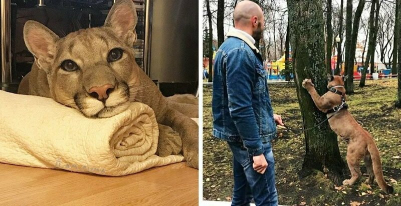 Пара забрала пуму из саранского контактного зоопарка и превратила её в разбалованного домашнего кота домашний питомец, животные, зоопарк, месси, пенза, пума