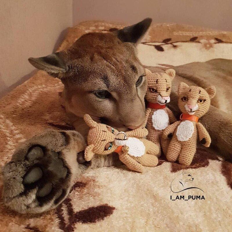 Посещая саранский зоопарк в Пензе спасители Месси заметили его и мгновенно влюбились домашний питомец, животные, зоопарк, месси, пенза, пума