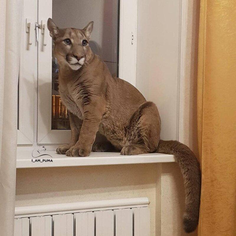Но его хозяева, Мария и Александр Дмитриевы, забрали Месси к себе из контактного зоопарка домашний питомец, животные, зоопарк, месси, пенза, пума
