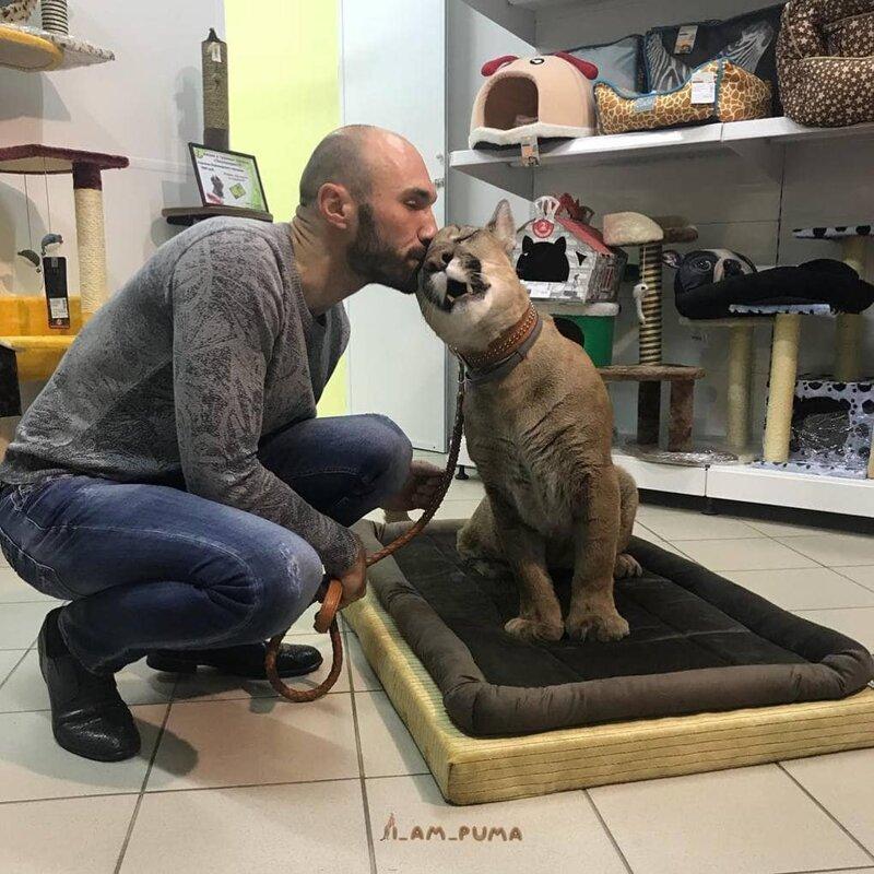 У Месси очень необычная история: дело в том, что он домашний кот домашний питомец, животные, зоопарк, месси, пенза, пума