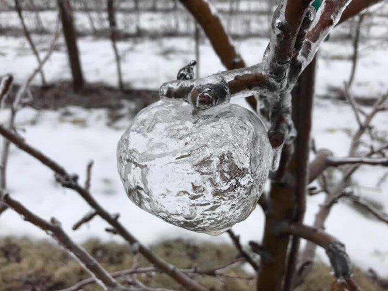 Парень обнаружил на дереве загадочные яблоки-призраки дерево, загадка, красота, призрак, природа, яблоки, явление