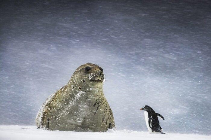 16. Встреча в метель (Антарктида) конкурс, фото, это интересно