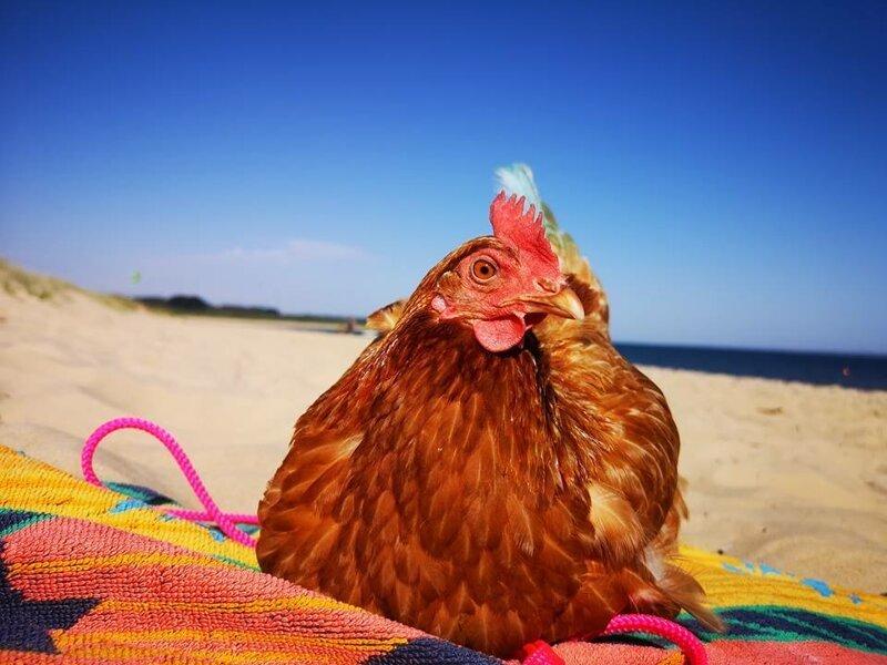 курица загорает картинки смогут выходить улицу