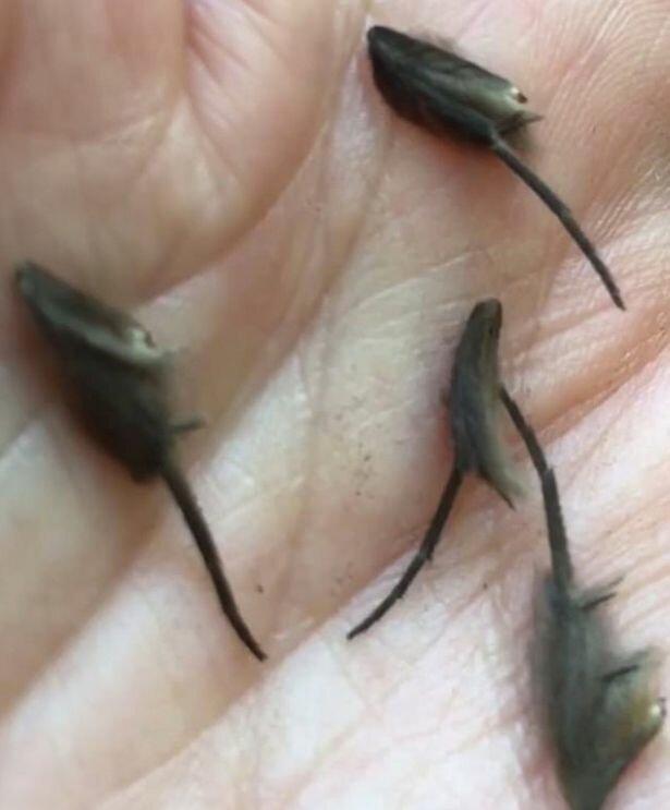 """В Новой Зеландии обнаружили """"крошечных инопланетных крыс"""" вот это да!, жутковато, и такое бывает, насекомые, новая зеландия, странные вещи творятся, странные животные, твари ползучие"""