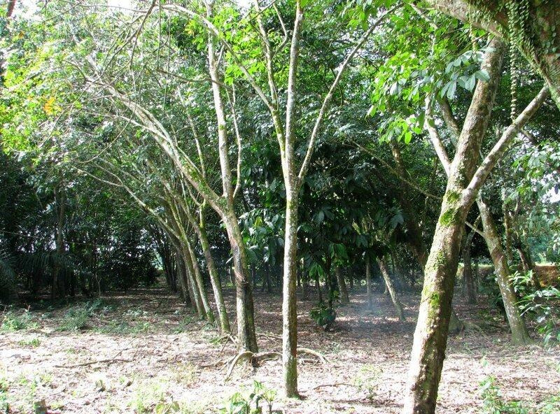 Малакка  (Малайзия).  Колониальное ядро и экскурсия на плантации