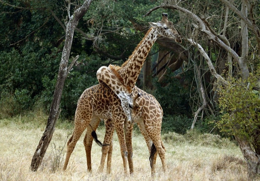 Картинки жирафы и природы