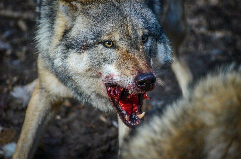 картинки волка который укусила над этим размышлял