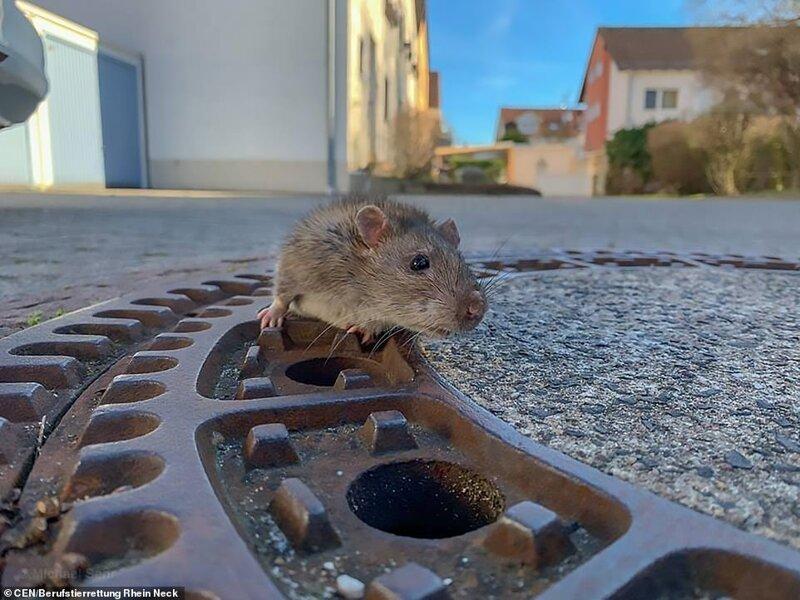 Толстую крысу, застрявшую в люке, доставали всей пожарной бригадой видео, животные, забавно, забавные ситуации, история, крыса, спасатели, спасение животных