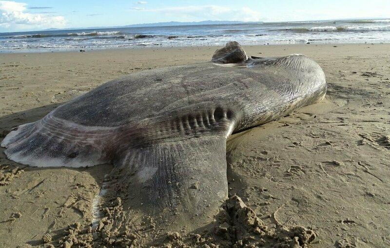 В США на пляж выбросило неуловимую рыбу-афериста аферист, в мире, выбросило на берег, находка, рыба, удивительно