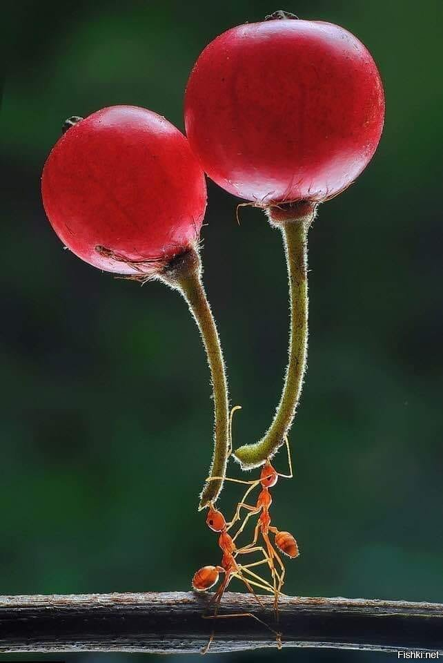 Two ants lifting berries