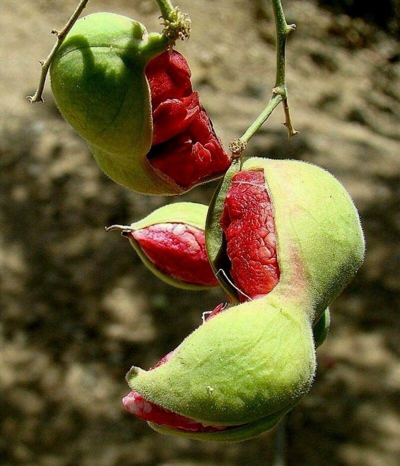 Питецеллобиум сладкий, или Манильский тамаринд (лат. Pithecellobium dulce) — небольшое вечнозелёное дерево семейства Бобовые еда, интересное, неизвестные, плоды, природа, растения, съедобные, фрукты